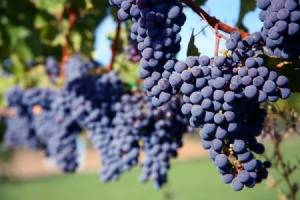 grape_vines_s1